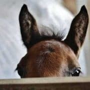 Foal ears